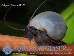 481131 Ampullaria PIGEON BLUE