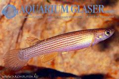 344102 Rivulus rubrilineatus