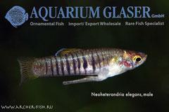 Neoheterandria elegans (Тигровый тедди), Самец