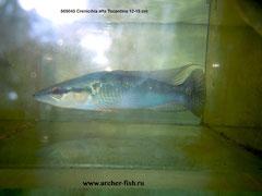 669045 Crenicihla alta Tocantins 12-15cм