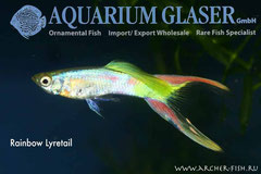 418893 Guppy Rainbow Lyretail
