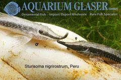 294854 Sturiosoma nigrirostrum Peru