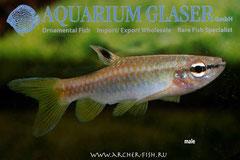286653 Pyrrhulina australis, Самец