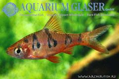 370923 Barbus rhomboocellatus, Самец