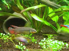 561702 Pelvicachromis taeniatus Molive g.br.
