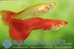 419096 Guppy full red albino