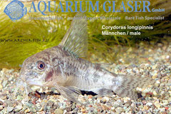 233552 Corydoras longipinnis, Самец
