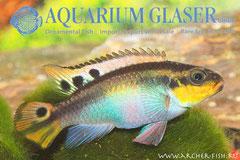 562304 Pelvicachromis taeniatus Nigeria Red g.br.,Самка
