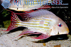 682706 Geophagus winemilleri