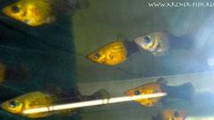 433232 Molli. sphenops Gold-Dust-Black