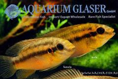 560513 Pelvicachromis silviae wild, Пара