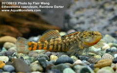 Etheostoma , Darter