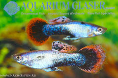 418763 Guppy arctic blue