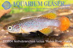 333604 Notho. lucius Ruhoi River,Самец