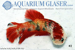 390075 Betta splendens Koi