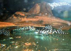 L 173b-2 Hypancistrus sp. g. br. 5-7 cm