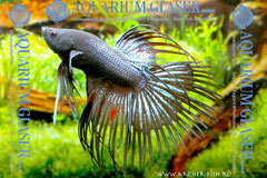 390543 Betta splendens Crowntail Schwarz