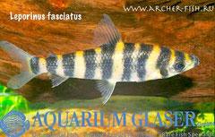265903 Leporinus fasciatus