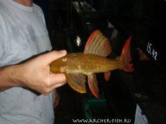 L24-8 Pseudacanthicus serratus 30-35cм