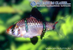 371905 Barbus tetrazona Blackfin