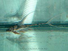 264814 Lamontichthys filamentosa