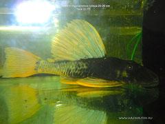 262637 Hypostomus luteus 25-30 cm