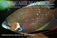 Osphromenus laticlavius Взрослая самка