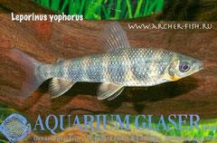 Leporinus y-ophorus