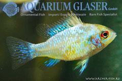 686733 Papiliochromis ramirezi Perlmutt/Pearl g.br., Самка