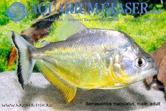 292264 Serrasalmus maculatus