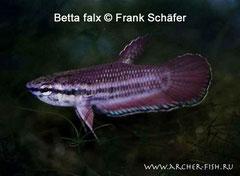 394202 Betta falx