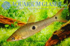 206103 Anostomus(Pseudanos) trimaculatus