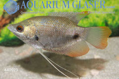440923 Osphromenus laticlavius 8-10 cm