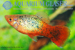 442653 Platy Red Tail Green Leopard, Самец