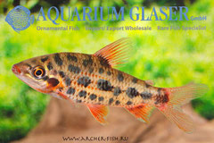 265892 Leporinus sp. Strawberry