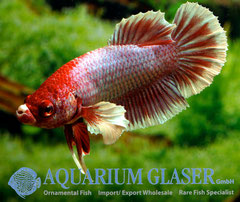 390643 Betta splendens elephant ear-1