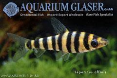 265842 Leporinus affinis