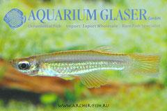 301402 Aplocheilichthys luxophthalmus