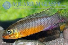 562702 Pelvicachromis taeniatus Bipindi wild, Самец