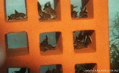Synodontis petricola (Синодонтис петрикола)