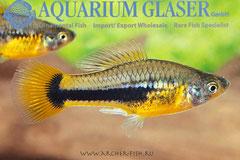 442993 Xiphophorus variatus