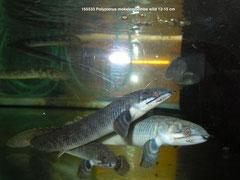 165533 Polypterus mokelembembe wild