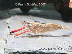 Macrobrachium sp.RED CLAW