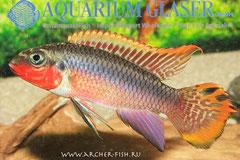 562304 Pelvicachromis taeniatus Nigeria Red g.br.,Самец