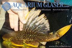 262648 Hypostomus luteus Gold 35 cm