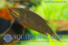 446503 Pseudosphromenus cupanus, Cамка