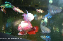389803 Betta splen. Female Crown Tail