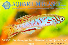 "325861 Fundulopanchax filamentosum ""Ijebu Ode"""