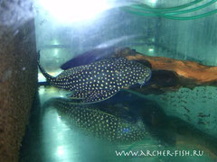 262705 Hypostomus magretifer REAL