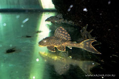 L 037-1 Hypostomus sp. Honeycomb